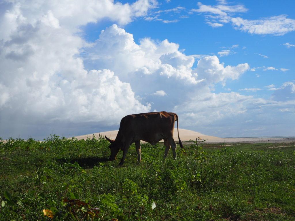 une vache en liberte dans le village de Jericoacoara
