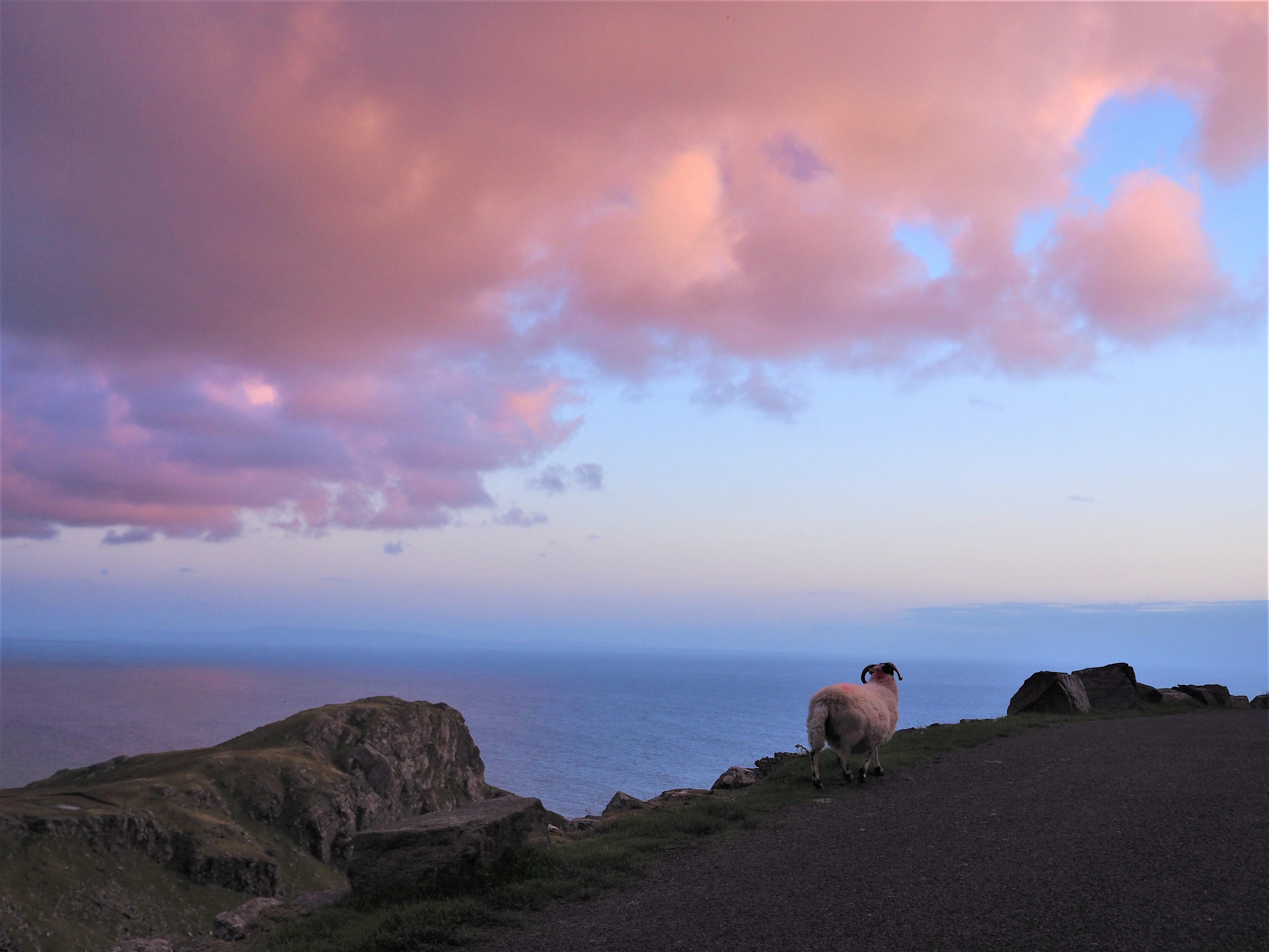 Voyage en Irlande, Comté de Donegal, autour de Slieve League un mouton