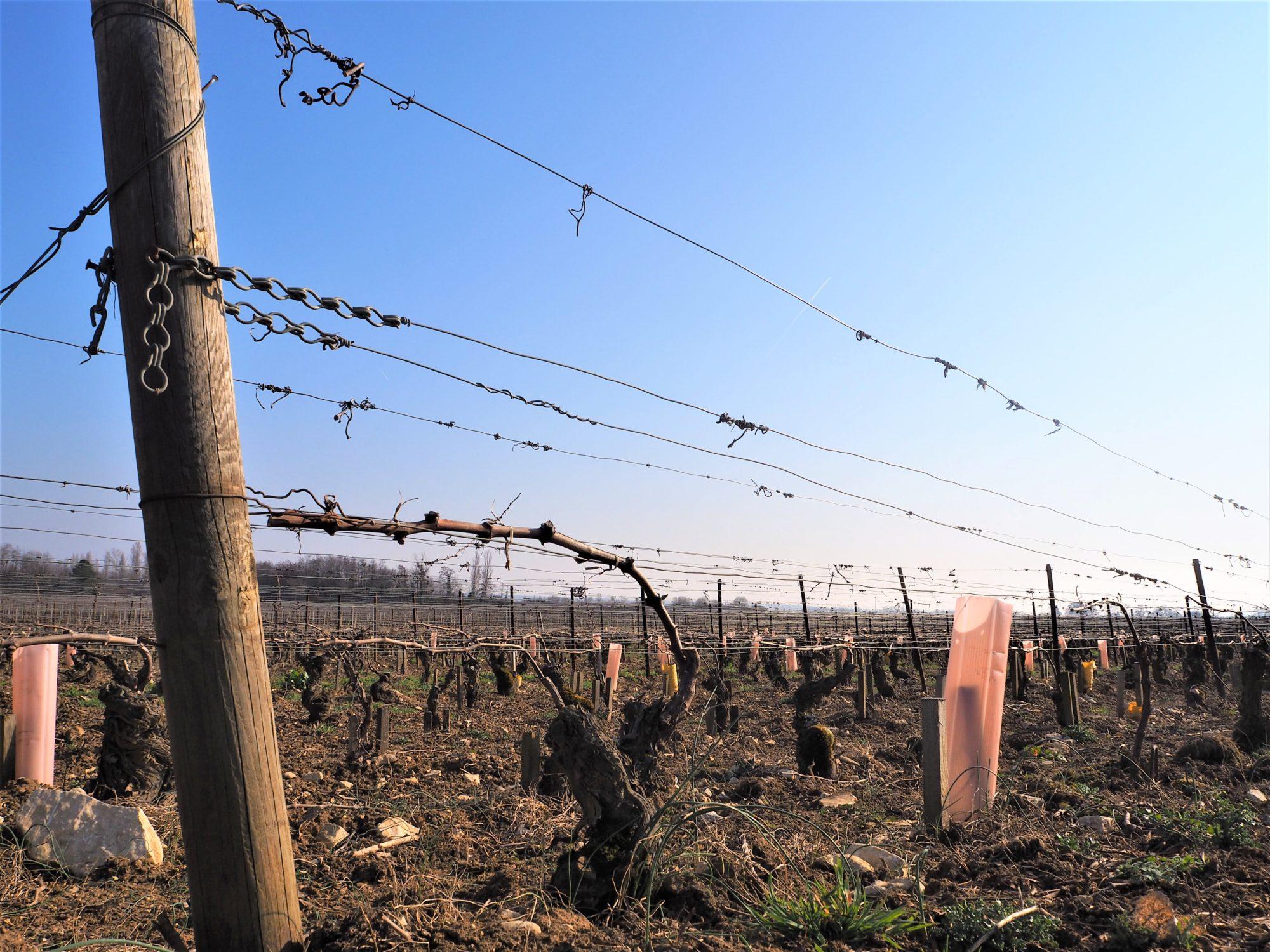La voie des vigne, Beaune Dijon Bourgogne coupe de la vigne