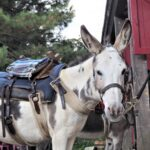 Alta Rocc'ânes balade en anes corse du sud sellé