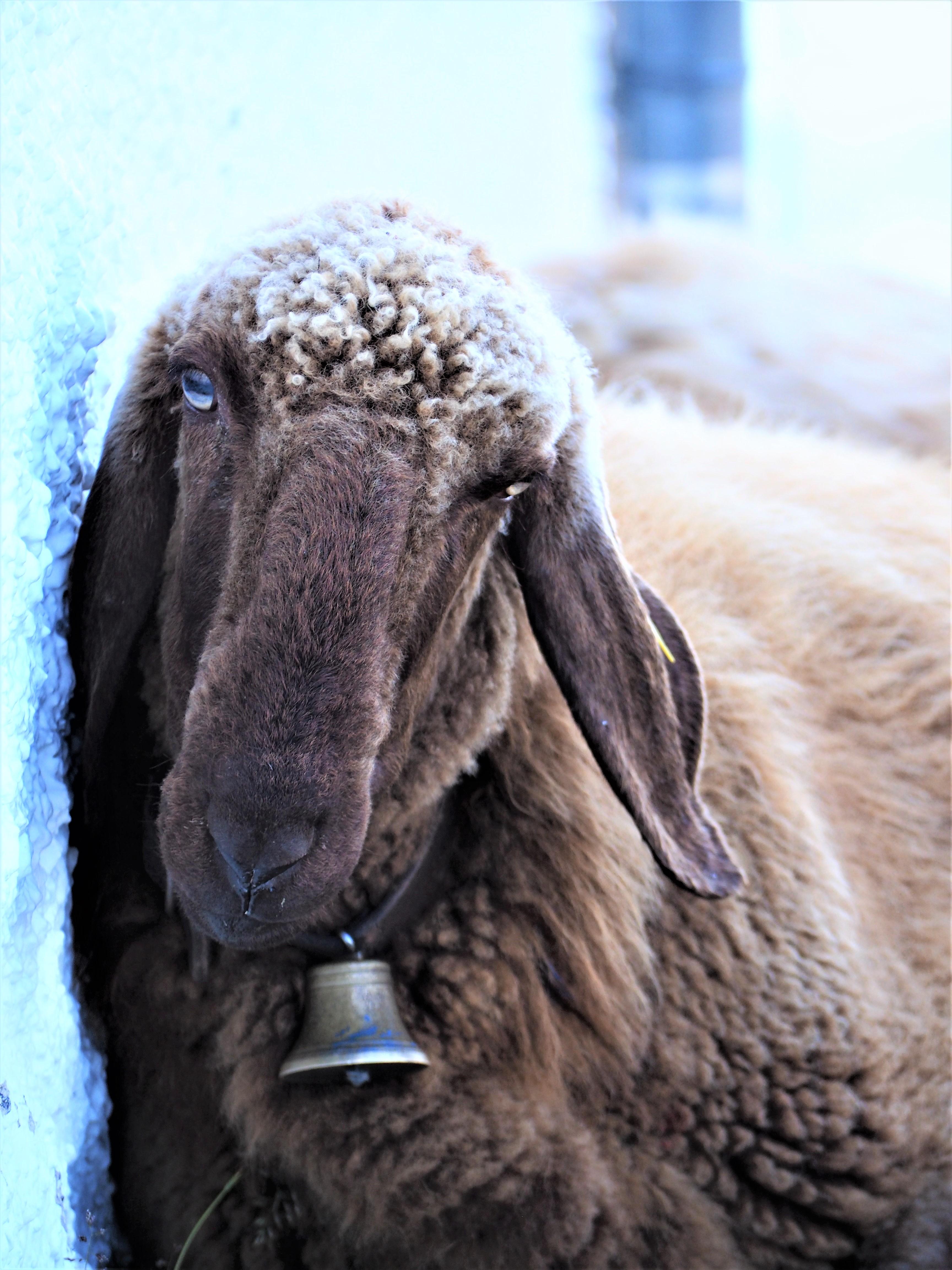mouton du tyrol autriche innsbruck sommet