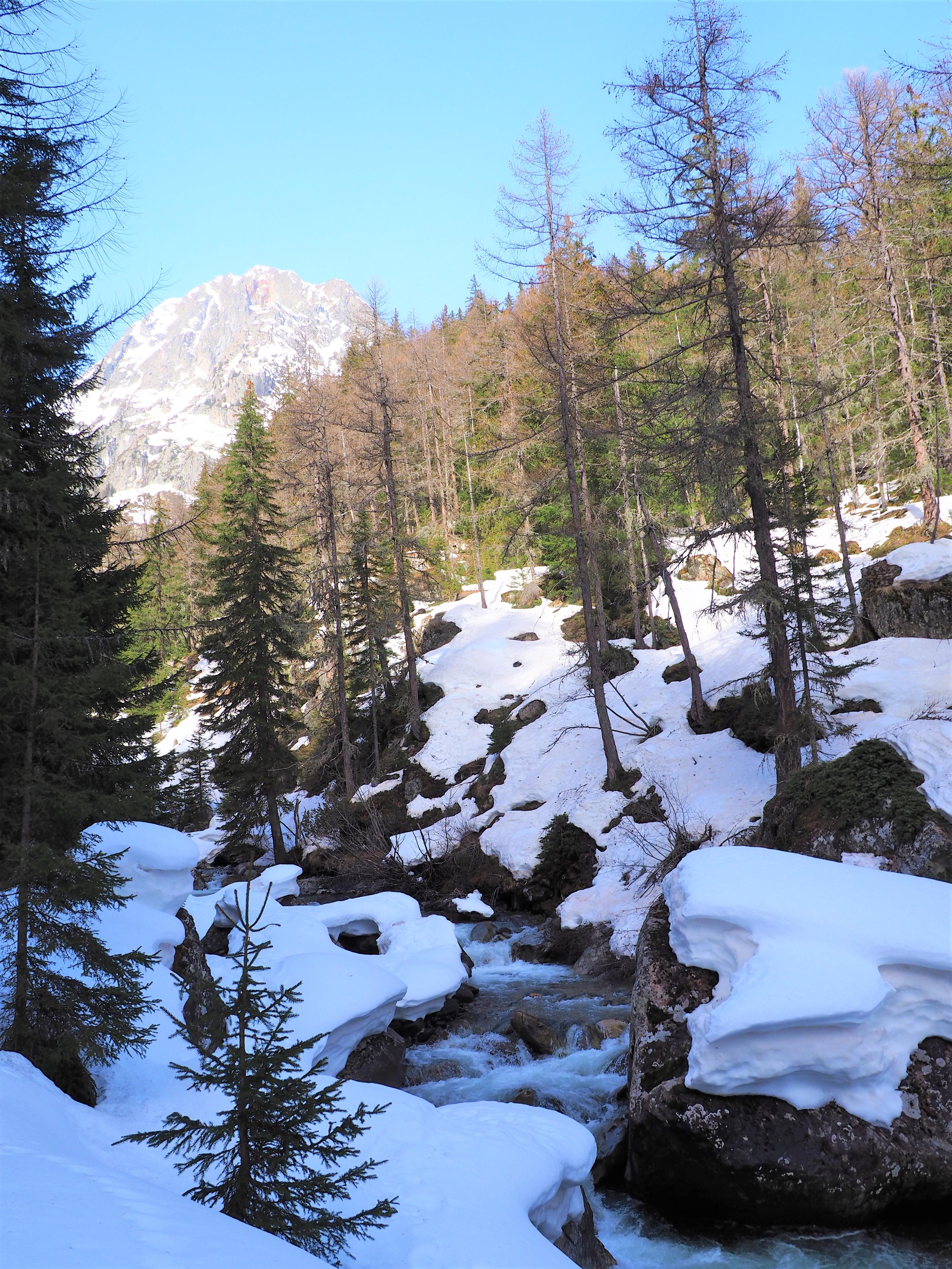 Sapin - Alpes