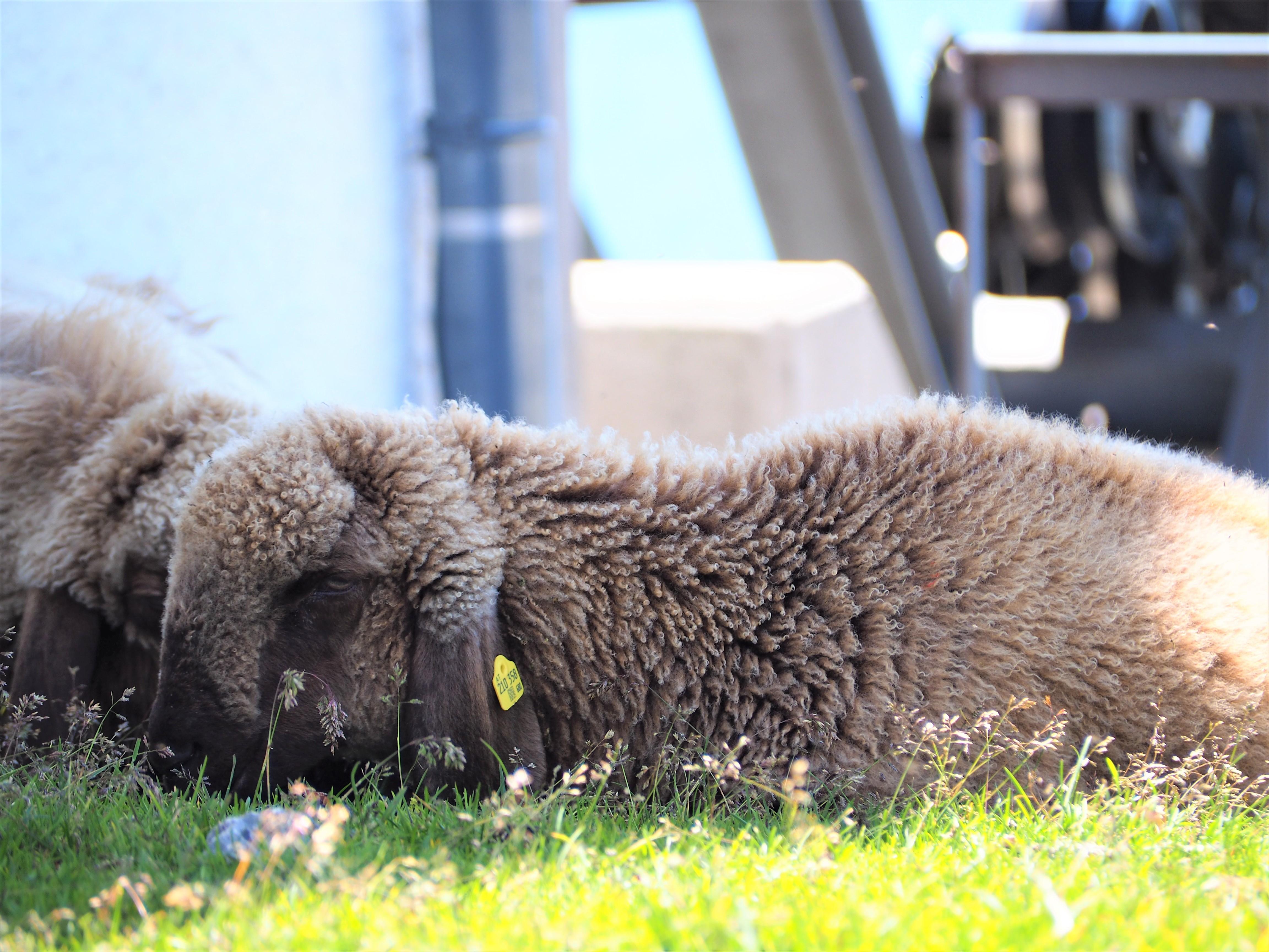 mouton-du-tyrol-innsburck-nordkette