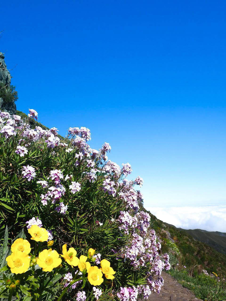 randonnée du pico ruivo fleur